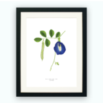 Print – Blue Butterfly Pea