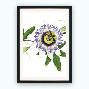 Print – Passion Flower